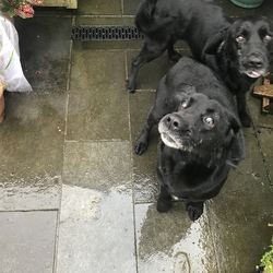 Found dog on 01 Apr 2018 in Gowran, Co Kilkenny . 2 gorgeous male small black labradors -