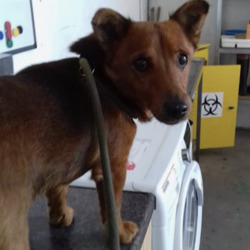 Found dog on 01 Aug 2020 in Gormanstown beach. found...Meath Dog Shelter