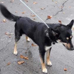 Found dog on 01 Nov 2017 in Village , Lucan. found, now in the dublin dog pound... Date Found: Saturday, October 28, 2017 Location Found: Village , Lucan