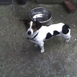 Found dog on 01 Oct 2009 in Tallaght, Dublin 24. Female Jack Russell