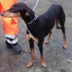 Found dog on 02 Jan 2019 in Rathfarnham Village. found, now in the dublin dog pound.Date Found: 31/12/2018 Location Found: Rathfarnham Village