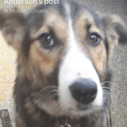 Found dog on 02 Jul 2018 in Athboy. found...Beautiful Little Lady Rescued from Under a Caravan on Connaught Street Athboy..Now in the meath pound,...