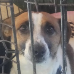 Found dog on 02 Jul 2018 in ballymun. found... jack Russell cross found in Ballymun within the last few days. Now in Dogs Aid. Proof of ownership required.