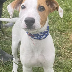 Found dog on 03 Aug 2021 in dublin. found, now in the dublin dog pound...archie Fingal County Council    Archie is a lurcher type pup roughly 4 months old. He came to us as a stray on 29/7/21. He is very playful and loves to be out and about exploring. He is not microchipped. We are currently looking for his owner, if not reclaimed he can be viewed from the 4/8/21.