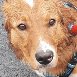 Found dog on 03 Aug 2021 in lucan. found, now in the dublin dog pound...Date Found: 29/07/2021 Location Found: Foxborough Est