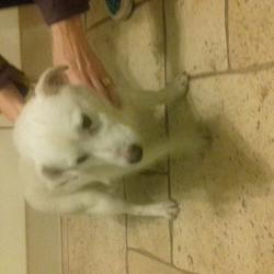 Found dog on 03 Dec 2017 in Lohunda Downs Clonsilla Dublin 15. Small white male dog found .