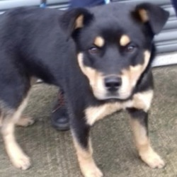 Found dog on 03 Dec 2019 in DOWNPATRICK NAVAN. found...Meath Dog Shelter November 28 at 6:31 PM ·  STRAY REF 324 young Male Rottie Cross FOUND DOWNPATRICK NAVAN Not chipped. Proof of ownership & fee required to reclaim. PHONE 0870973911 Mon - Sat 10 till 3pm