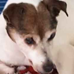 Found dog on 03 Jan 2019 in East wall. found...DSPCA Male old Jack Russell found in East wall.
