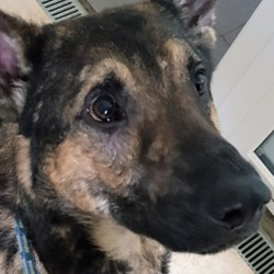 Found dog on 03 Jan 2019 in Lucan.. found...DSPCA Male shepherd found in Lucan.