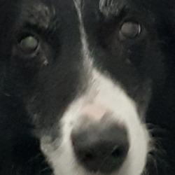 Found dog on 03 Jan 2019 in Walkinstown.. found..DSPCA Male older collie found in Walkinstown.