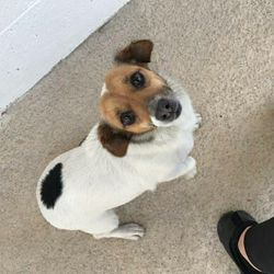 Found dog on 03 Nov 2017 in Boyne vets Navan. found, .3yr old Female Jrt brought in from Boyne vets Navan..ref 315...contact Meath pound on 087 0676766 ..thanks