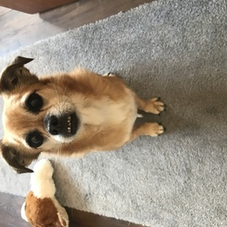 Found dog on 03 Oct 2018 in Killiney dublin. Found this little girl in the killiney area last night around 11pm wandering in our estate, close to killiney beach. She is not microchipped and doesn't have a collar.