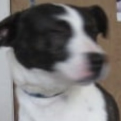 Found dog on 03 Oct 2019 in Baltinglass.. found...Wicklow Dog Pound September 25 at 9:40 AM ·  Bosco (pound name) is a male staffordshire crossbreed found in Baltinglass. Please call Wicklow Dog Pound on 0404 44873 for more information. Thank you
