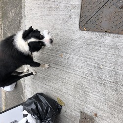 Found dog on 03 Oct 2020 in Dublin 1. Saw this dog on Sat, 3rd of Oct at around 2pm near Summerhill Parade, Dublin 1. S/he was wearing black leather collar though it looked abandoned/lost and hungry, s/he picked some food from the litter, crossed the road and continued down Buckingham Street. When crossing the road was nearly hit by the cars, looked distressed.
