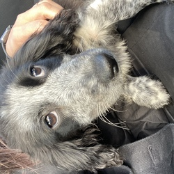 Found dog on 03 Oct 2021 in Cheeverstown road . White and black puppy seems to be a Spaniel of some type dropped to myvets Lucan. Found on cheeverstown road