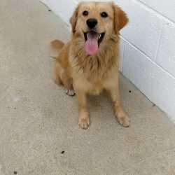 Found dog on 04 Dec 2017 in Kells.. found... ef 353.....found with Zane, Headford grove Kells....contact Meath pound on 087 0676766...thanks