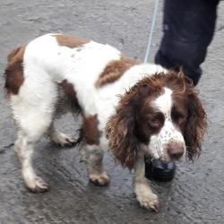 Found dog on 04 Dec 2017 in Village , Lucan. found, now in the dublin dog pound... Date Found: Sunday, December 3, 2017 Location Found: Village , Lucan