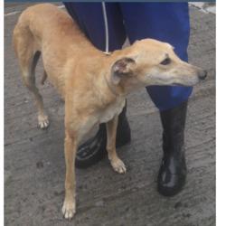 Found dog on 04 May 2018 in St,Anne's School. found,now in the dublin dog pound...Date Found: 03/05/2018 Location Found: St,Anne's School tallaght