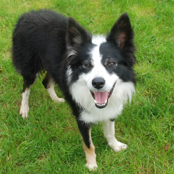 Found dog on 04 Nov 2009 in Celbridge, Co. Kildare. Collie male 1 - 2 yr app. black collar with metal decorations, no tag not microchipped. contact - 0863438131 / 0863279315