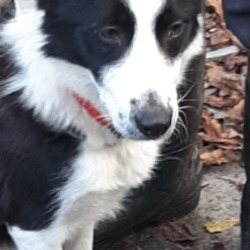 Found dog on 04 Nov 2019 in Brookview Tallaght. found, now in the dublin dog pound..Date Found: