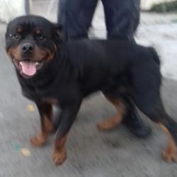 Found dog on 05 Dec 2018 in Saggart. found, now in the dublin dog pound...Date Found: 02/12/2018 Location Found: Saggart