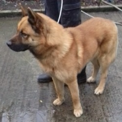 Found dog on 05 Dec 2018 in Stocking Rathfarnham. found, now in the dublin dog pound...Date Found: 04/12/2018 Location Found: Stocking Rathfarnham