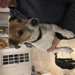 Found dog on 05 Jan 2019 in Rathmines, Dublin 6. Reunited******  FOUND  Palmerston Road, Dublin 6  With finder.