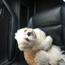 Found dog on 05 Nov 2020 in Tallaght . White & beige shih tzu found on the kiltipper road. Very friendly, seems to be well groomed
