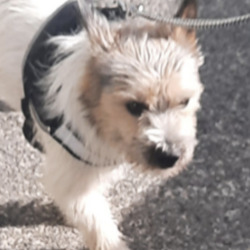 Found dog on 05 Oct 2021 in saggart. found, now in the midlands dog pound...!!Found!! This male terrier was found in Saggart Village yesterday wearing his harness. He looks to be 2 - 3 years old. He's very friendly and loves attention and seems to have basic training. If you recognise him or know the owner please get in touch with us on 087 3914008. Proof of ownership required.