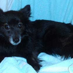 Found dog on 06 Feb 2010 in Howth. Small black and white, long haired, Collie type dog. Full tail.
