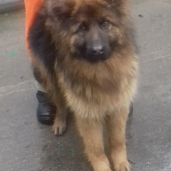 Found dog on 06 Feb 2019 in Brittas Co Dublin. found, now in the dublin dog pound...Date Found: