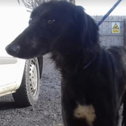 Found dog on 06 Feb 2019 in navan. found...Meath Dog Shelter 7 mins ·  REF 41 Slauki X male Found Old Johnston Navan Not chipped No Collar Proof of ownership Required Phone 0870973911 Mon to Sat 10-2.30