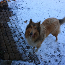 Found dog on 06 Jan 2010 in allenwood kildare. Rough collie/lassie male dog found in the Allenwood area.He has a collar but his tag has fallen off.Please call pamela on 085 7054902 for more information.