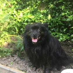 Found dog on 06 Jun 2018 in Chapelizod. Friendly little Black dog followed us home