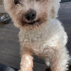 Found dog on 06 Mar 2021 in R150 Road Duleek . Small Bichon Frise found on the R150 Duleek Road at around 11:30pm.  frightened and  running out on the road,friendly,no collar