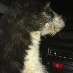 Found dog on 06 Nov 2017 in Found on the fosse way, just outside of Cirencester . Collie / Collie x bitch