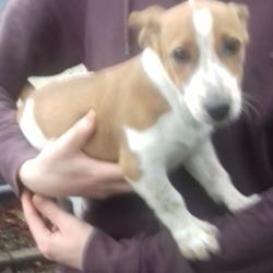 Found dog on 06 Nov 2018 in Tallaght. found, now in the dublin dog pound..Date Found: 05/11/2018 Location Found: Tallaght