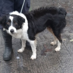 Found dog on 06 Nov 2019 in Brittas Co Dublin. found, now in the dublin dog pound...Date Found: