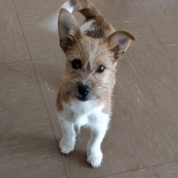 Found dog on 07 Apr 2017 in Wicklow Town. found...a female Terrier x puppy who was found in Wicklow Town. She's a friendly, happy and outgoing little dog. Contact Wicklow Dog Pound for information on 040444873.
