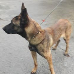 Found dog on 07 Dec 2017 in Clonmore Est , Tallaght. found, now in the dublin dog pound... Date Found: Wednesday, December 6, 2017 Location Found: Clonmore Est , Tallaght
