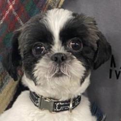Found dog on 07 Dec 2020 in City West. found, now in the dublin dog pound..Date Found: 05/12/2020 Location Found: City West