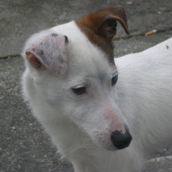 Found dog on 07 Feb 2010 in Galway, Renmore. Jack Russell male pup found in Galway, Renmore area.Very friendly.