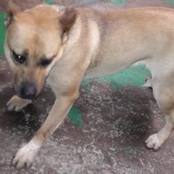 Found dog on 07 Jan 2019 in Ronanstown. found, now in the dublin dog pound...Date Found: 04/01/2019 Location Found: Ronanstown