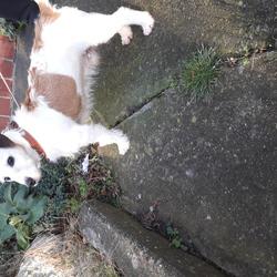 Found dog on 07 Jan 2020 in Dollymount. White /tan terrier