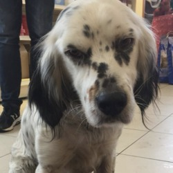 Found dog on 08 Dec 2018 in Dunleer, on grangebellew . found..O'Dowd VeterinaryLike Page 5 mins ·  **FOUND**  In Dunleer, on grangebellew road. Please contact Shane on0879656400 if you own him.