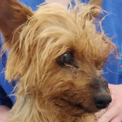 Found dog on 08 Jul 2021 in tolka valley. found...Fox Veterinary Clinic 1ShmtSpons2othrmed  ·  ⚠️ STRAY DOG ⚠️ This Yorkshire Terrier was brought into us badly injured yesterday - Female  - Approx. 10 years old - Found near Tolka Valley Road - Microchipped but it's not registered  If you recognize this lady please give us a call on 01-8348411
