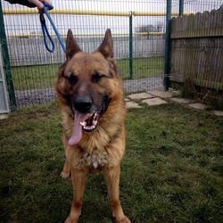 Found dog on 08 Mar 2018 in meath pound.... found..Ref 57, Buster, male German Shepherd surrendered to the pound today, he's 3 years old, if you can help this guy contact the pound on 0870973911