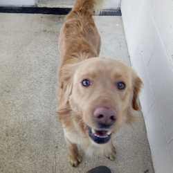 Found dog on 08 Mar 2018 in slane. found..Ref 56, male lab, found in slane, please contact the pound on 0870973911 with information