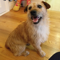 Found dog on 08 May 2019 in D18. Small wire haired male terrier. Very sweet natured. No microchip, neutered. Vet thinks between 3-5 years of age. Found in Carrickmines area
