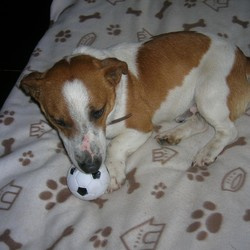 Found dog on 09 Feb 2010 in Donoughmore/ Blarney/Cork. Jack Russell x terrier .